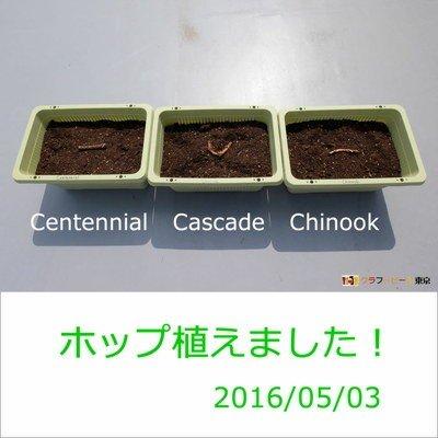 2016-05-03_ホップ植え付け